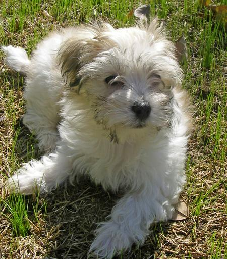 Sophie the Havanese Pictures 678671
