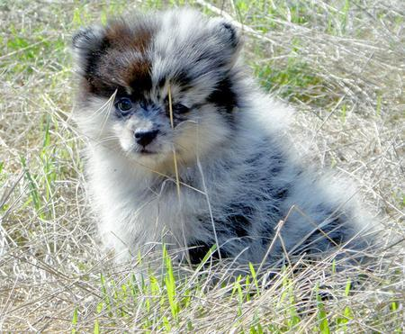 Sophie the Pomeranian Pictures 838381