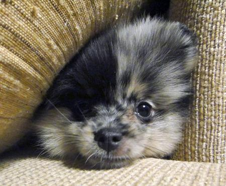 Sophie the Pomeranian Pictures 838382