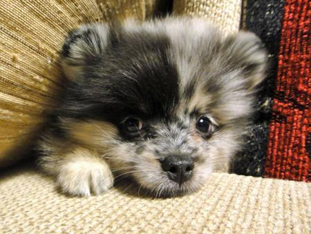 Sophie the Pomeranian Pictures 838380