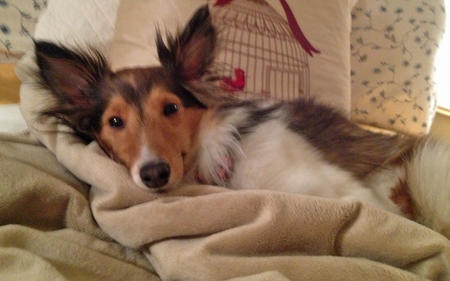 Sophie the Shetland Sheepdog Pictures 957209