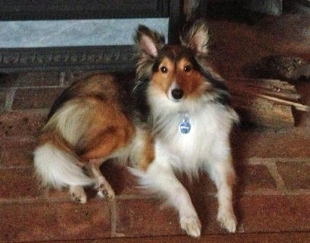 Sophie the Shetland Sheepdog Pictures 957210