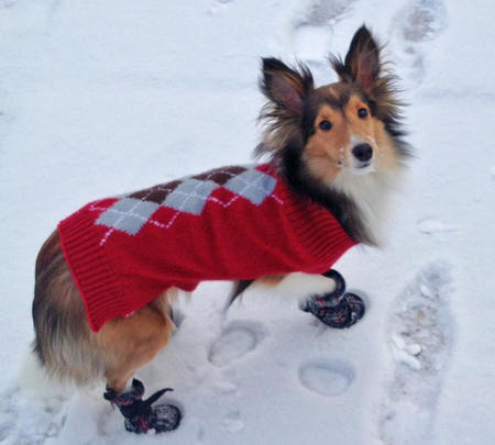 Sophie the Shetland Sheepdog Pictures 957211