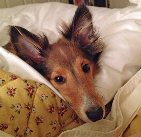 Sophie the Shetland Sheepdog Pictures 957212
