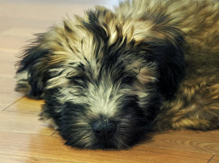 The Soft Coated Wheaten Terrier Puppies Daily Puppy