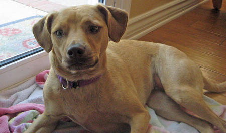 Sophie the Vizsla Mix Pictures 868617