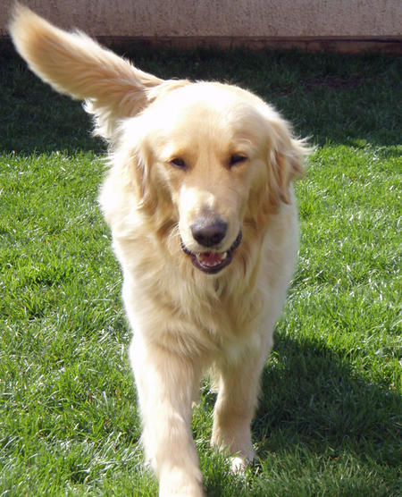 Sparky the Golden Retriever Pictures 753577
