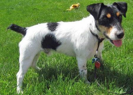 Spooky the Jack Russell Terrier Pictures 873509