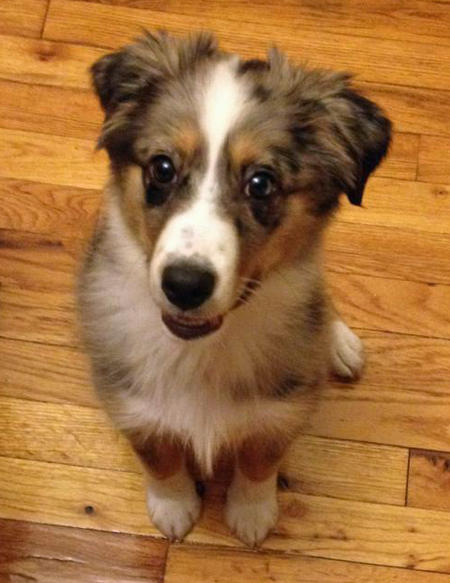 Spotswood the Australian Shepherd Pictures 1034105