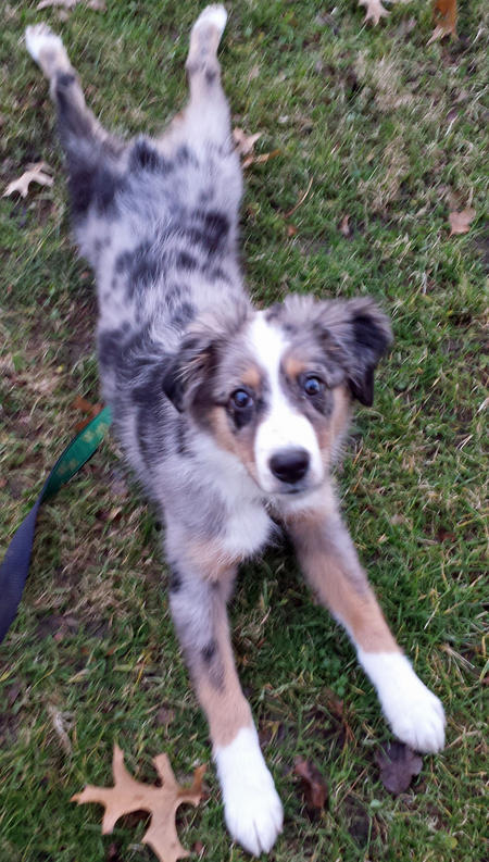 Spotswood the Australian Shepherd Pictures 1034106