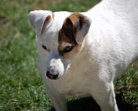 Spud the Jack Russell Terrier Pictures 912707