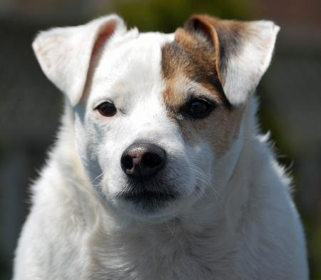 Spud the Jack Russell Terrier Pictures 912709