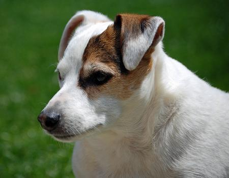 Spud the Jack Russell Terrier Pictures 912711