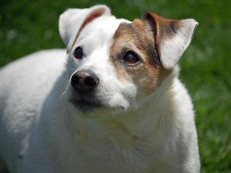 Spud the Jack Russell Terrier Pictures 912706