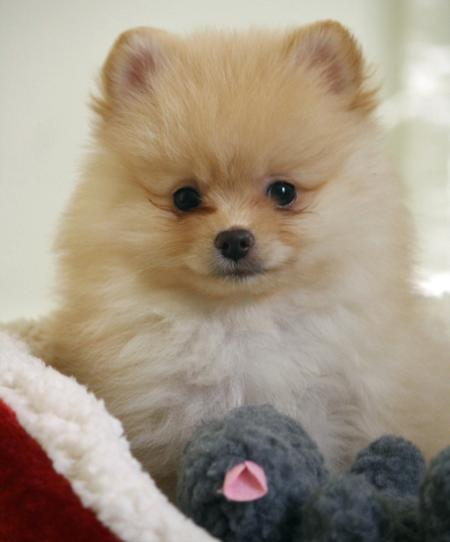 Sputnik the Pomeranian Pictures 914786