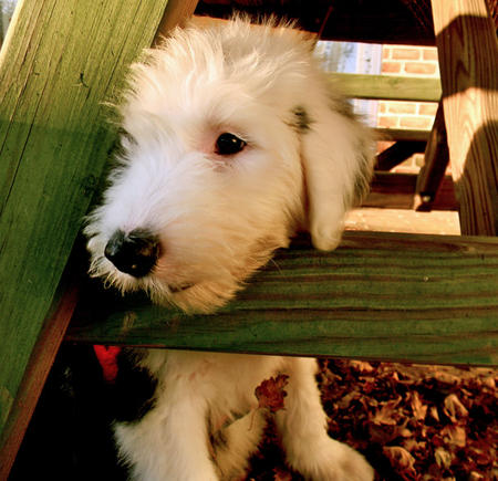 Stanley the Old English Sheepdog Pictures 991376