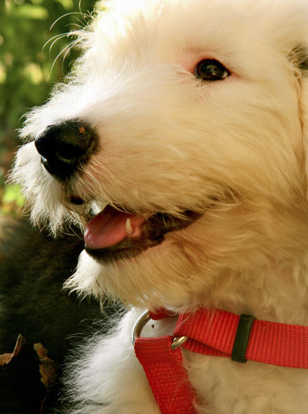 Stanley the Old English Sheepdog Pictures 991377
