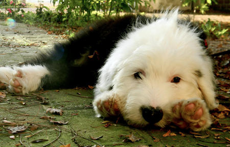 Stanley the Old English Sheepdog Pictures 991378
