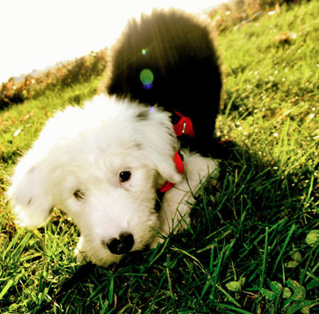 Stanley the Old English Sheepdog Pictures 991379