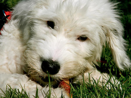 Stanley the Old English Sheepdog Pictures 991381