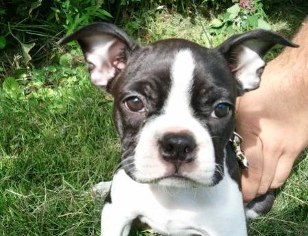 Stella the Boston Terrier Pictures 794505