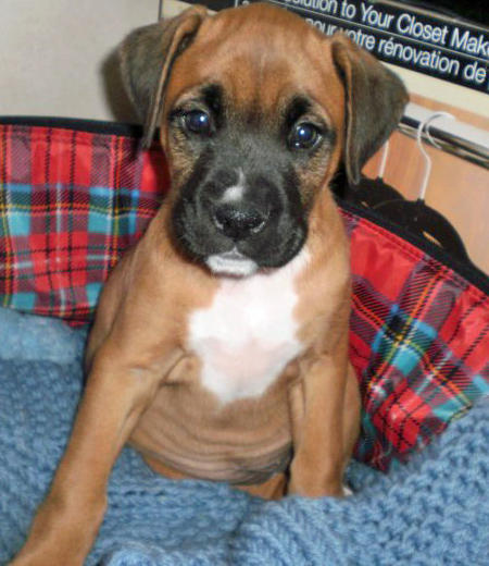 Stella the Boxer Mix Pictures 836608