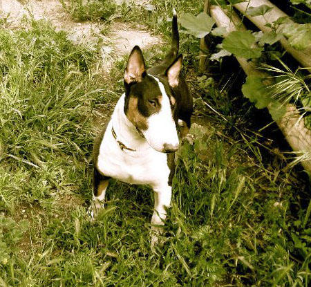 Stella the Bull Terrier Pictures 733547