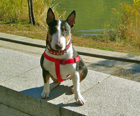 Stella the Bull Terrier Pictures 733550
