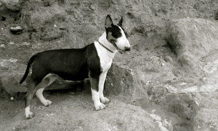 Stella the Bull Terrier Pictures 733551
