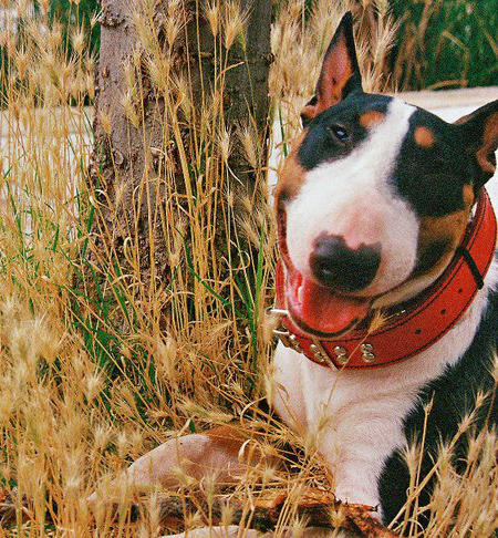 Stella the Bull Terrier Pictures 733554