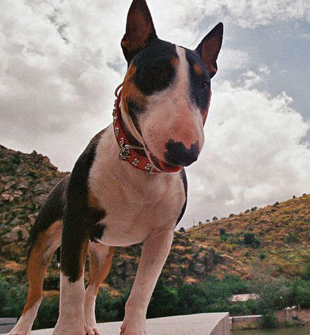 Stella the Bull Terrier Pictures 733546
