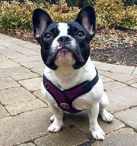 Stella the French Bulldog Pictures 1052117