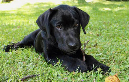 Stella the Labrador Retriever Pictures 984958