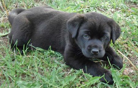 Stella the Mastiff Mix Pictures 789554