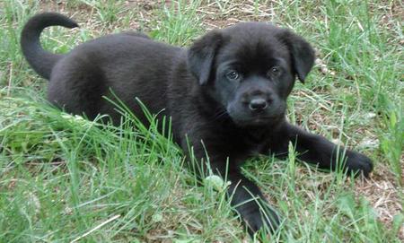 Stella the Mastiff Mix Pictures 789557