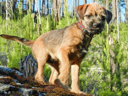 Sterling the Border Terrier Pictures 1057870