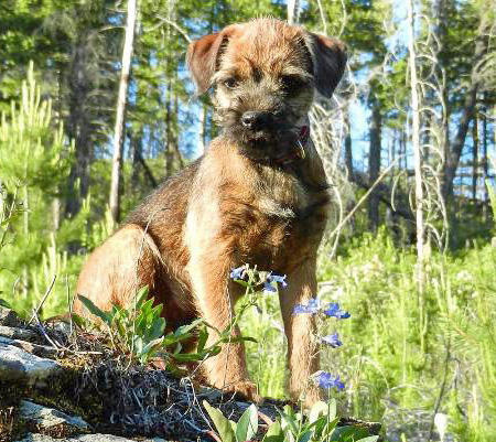 Sterling the Border Terrier Pictures 1057871
