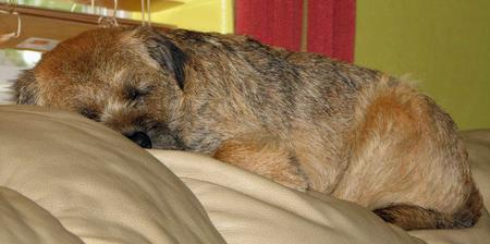 Steve the Border Terrier Pictures 479532