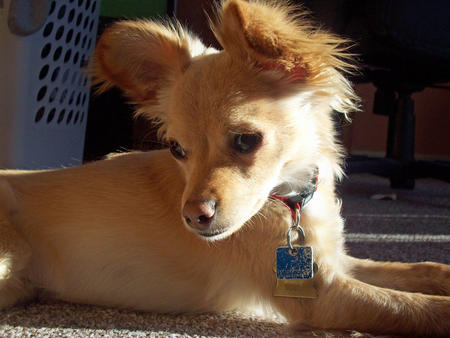 Long Hair Chihuahua Mix. long haired chihuahua mix.