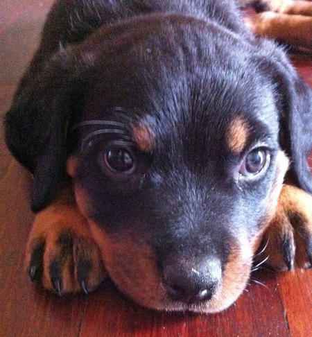 Storm the Rottweiler Pictures 1048644