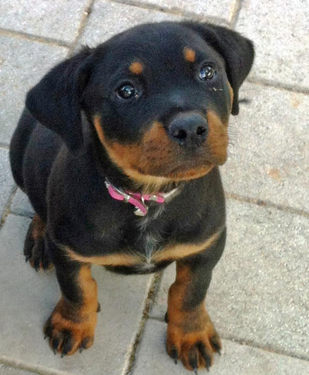 Storm the Rottweiler Pictures 1048645