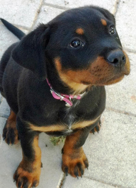 Storm the Rottweiler Pictures 1048646