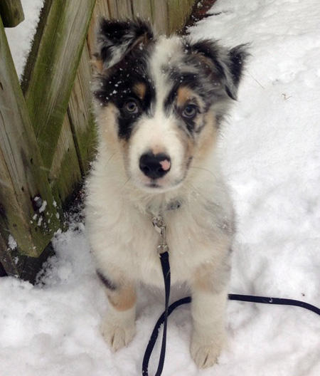 Subie the Australian Shepherd Pictures 996856