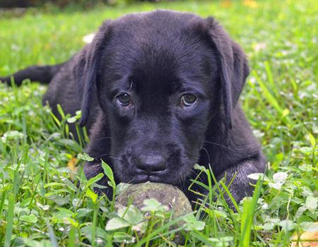Sugarhoney the Labrador Retriever Pictures 1023627