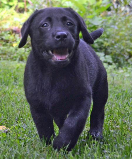 Sugarhoney the Labrador Retriever Pictures 1023629