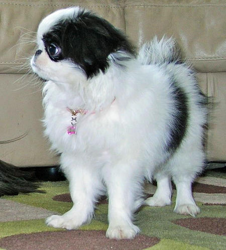 Suji the Japanese Chin Pictures 1037978