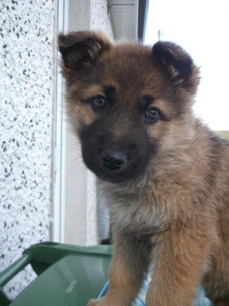 Sultan the German Shepherd Pictures 968925