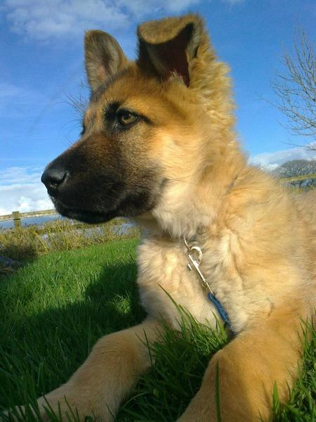 Sultan the German Shepherd Pictures 968921