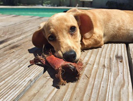 Summer the Dachshund Pictures 1045005