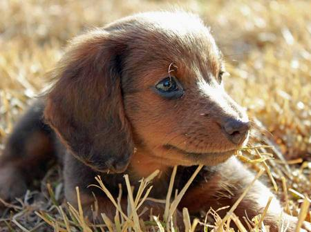 Summer the Miniature Dachshund Pictures 1018895